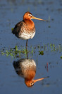 Grutto (Limosa limosa) Beleven, Reusel